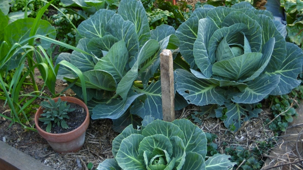 The Little Veggie Patch Co_cabbage_620x349